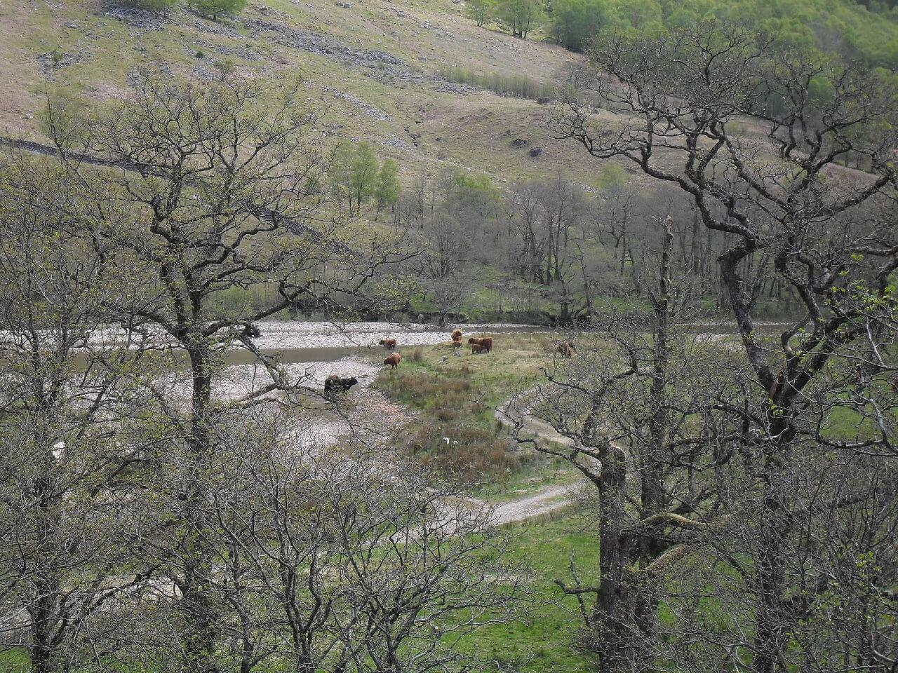 Erste Cattle-Sichtung