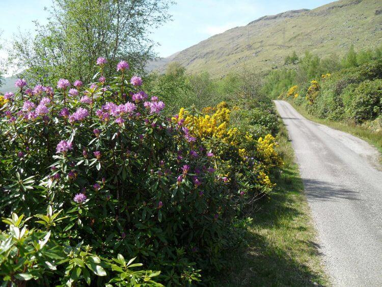 Ginster und Rhododendron säumen kilometerweit die Straße