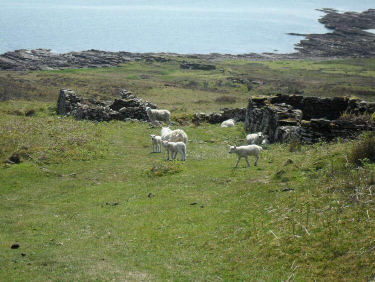 Heute ist die Anzahl der Schafe überschaubar